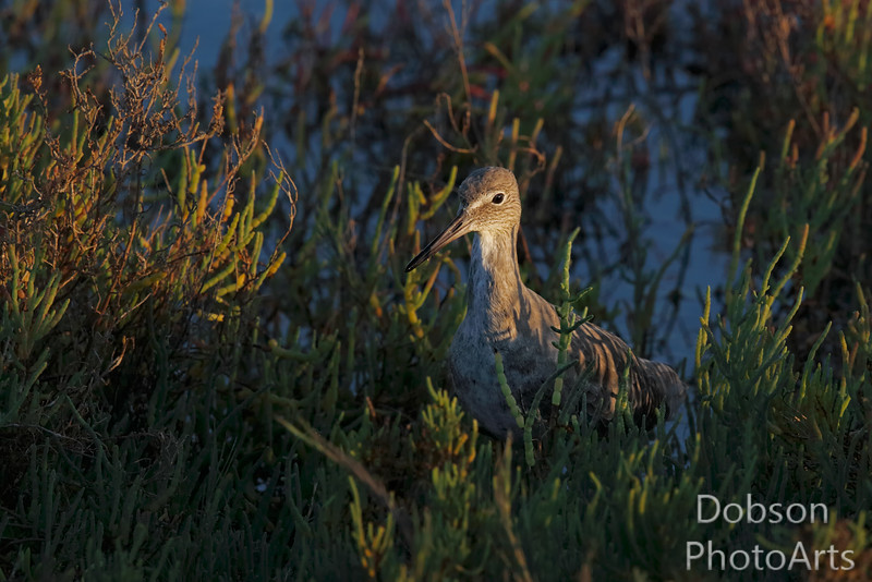 Western Willet peaking out of the sea grass