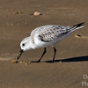 Sanderling - just pokin around