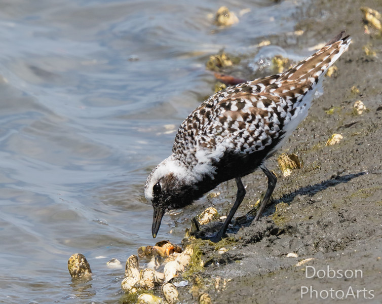 Black-bellied Plover searching for food