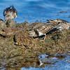 Three Ruddy Turnstones
