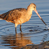 Marble Godwit - siphon at work