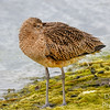 Curlew Bedding Down for a Nap