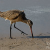 Marbled Godwit scavenging the shore