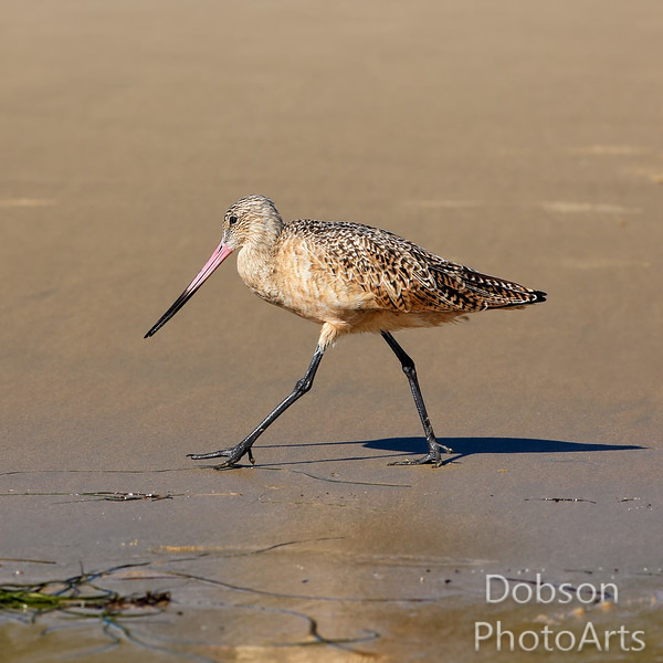Marbled Godwit  - searching for sea worms
