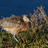 Long-billed curlew waking from a nap