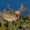 Long-billed Curlew Napping