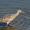 Long-billed Curlew on the move