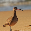 Whimbrel practicing toe-steps