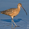 Strolling Curlew