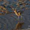 Long-billed curlew and crab dinner