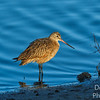 Marbled Godwit  thinking about a nap