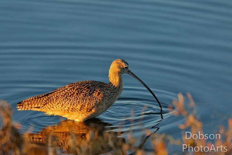 Long-billed curlew  probing the water for a meal