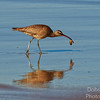 Long-billed curlew catching  a crab