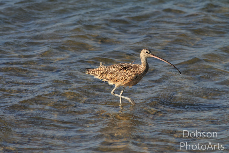 Long-billed curlew stepping over waves