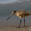 Marbled Godwit  hunting with the tide