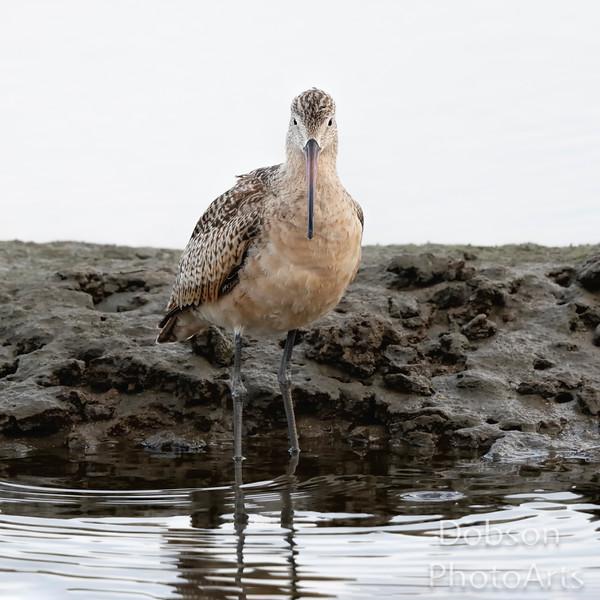 Marbled Godwit - A Portrait