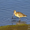 Marbled Godwit Springs a Leak