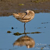 Marbled Godwit taking a stretch