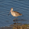 Marbled Godwit patrolling the shore