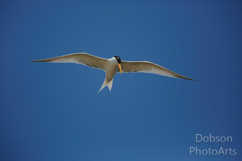 Elegant Tern Soaring the Sky