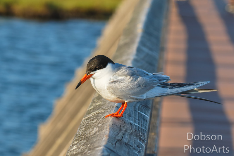Forester's Tern on the hunt