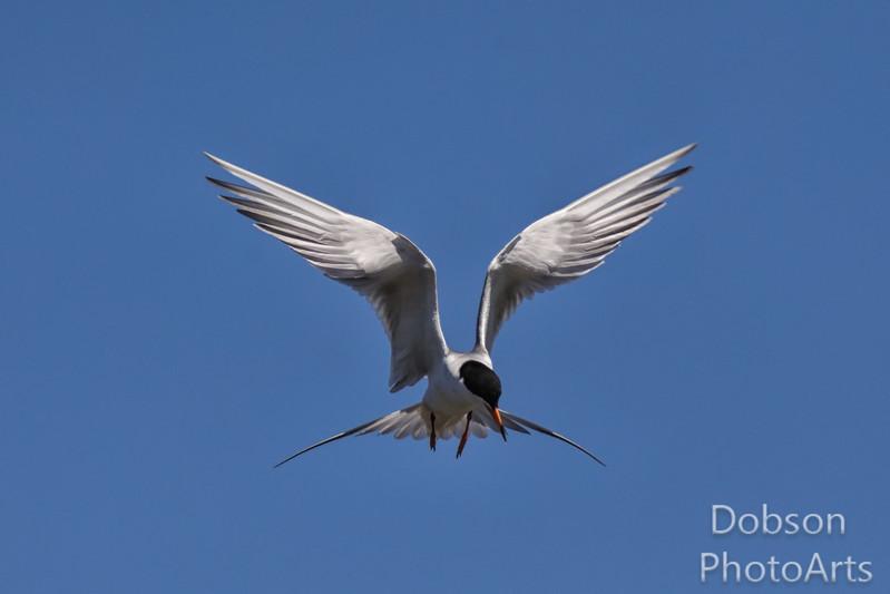 Braking Tern