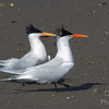 Elegant Terns  Precison Marching Team