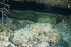 4 Foot Moray Eel