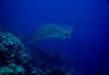 Spotted Eagle Ray From The Deep