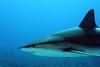 Stoned Shark