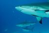 Disinterested Shark