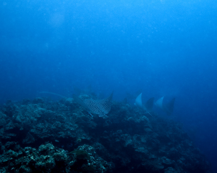 6 Eagle Rays From The Deep