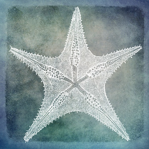 Sea Star III - Coastal Watercolor in Blue and White with 1800s Sea Star Starfish Illustration