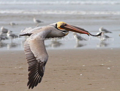 Brown Pelican Gallery I