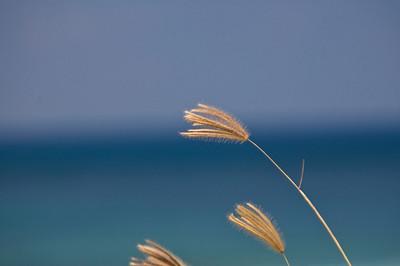 Sea grass Kaena Point Oahu