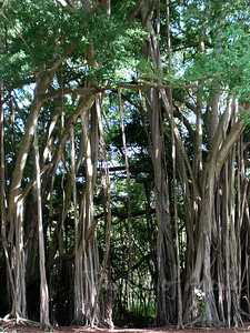 The mysterious Banyan Tree forest Kawela Bay North Shore of Oahu, Hawaii 030901