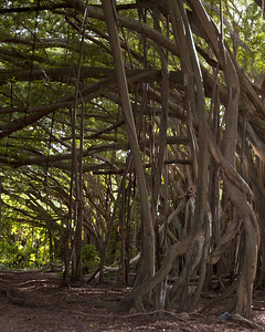 The mysterious Banyan Tree Forest Kawela Bay  North Shore Oahu, Hawaii 080727