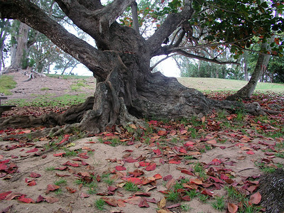 Tree at Kawela Bay with amazingly large bright red leaves 030802
