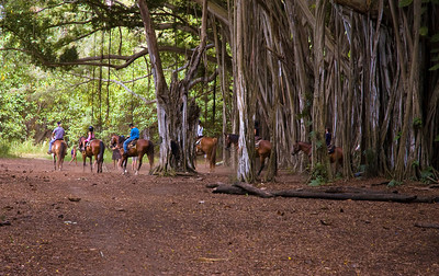 Horses with riders weave their way through the Banyan Forest Kawela Bay  North Shore Oahu, Hawaii 080727