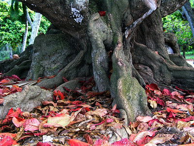 Tree at Kawela Bay with amazingly large bright red leaves covering Earth, giving nutrition back into the soil 030802