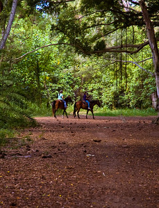 Horses with riders weave their way through the Banyan Forest North Shore Oahu, Hawaii 080727