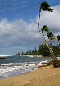 Coconut palm trees bending with the strong tradewinds at Hale'iwa Beach  North Shore, O'ahu, Hawai'i