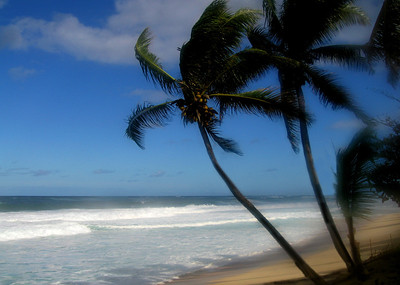 Coconut palm trees bending with the strong tradewinds at Ehukai Beach  North Shore, O'ahu, Hawai'i  December, 2005