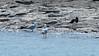 Silver gulls (Chroicocephalus novaehollandiae) amd a pied oystercatcher (Haematopus longirostris)