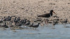 Grey-tailed tattler (Tringa brevipes) and a pied oystercatcher (Haematopus longirostris)