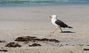 The Pacific Gull (Larus pacificus)