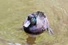 The Blue Duck (Hymenolaimus malacorhynchos)