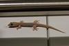 Common house gecko (Hemidactylus frenatus)