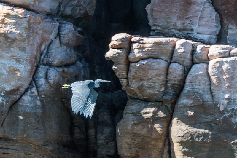 Eastern reef heron  (Egretta sacra)