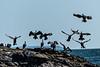 Australian pied cormorant (Phalacrocorax varius)